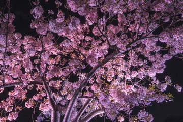 Senba Lake Cherry Blossoms