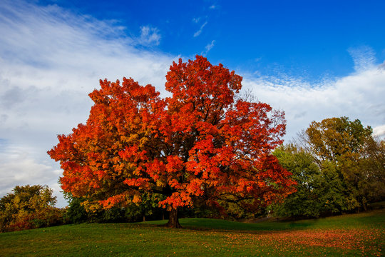Acer saccharum, the sugar maple or rock maple in autumn