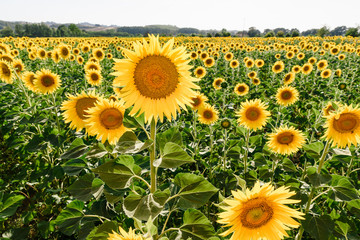 Sunflowers with one prominent tall flower close up in the field