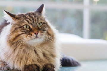 Beauty cat with long hair outdoor. Siberian pet of livestock, hypoallergenic animal looking up