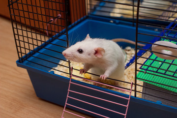 Pet rat looking out from an open cage. White domestic dumbo rat. Taking care of domestic rats, equipment and accessories for rats concept. Freedom and escape concept