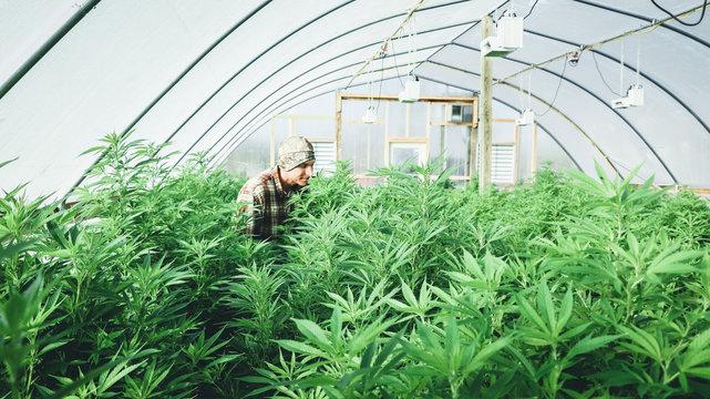 Farmer tending his crop of hemp plants.