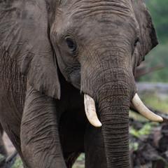 African elephant close up; safari photography