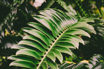 Background texture of a close up of a green palm leaf in a lush jungle.