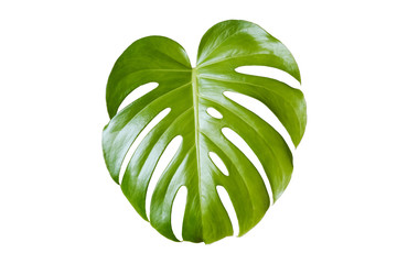 monstera leaf, philodendron plant leaf isolated on white background