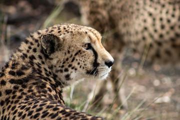 African Safari: a beautiful cheetah in the african bush; close up of head