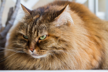 Beauty cat with long hair outdoor. Siberian pet of livestock, female animal