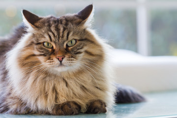 Fluffy cat with long hair outdoor. Siberian pet of livestock, hypoallergenic animal