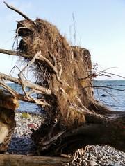 Entwurzelter Baum am Strand von Rügen