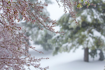 Japanese Maple Tree and Redwood trees in a spring snow storm.