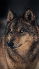 The wolf, also known as the grey wolf or timber wolf,is a canine native to the wilderness and remote areas of North America