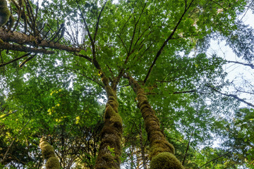 Bottom view of tall old trees in evergreen forest British Columbia nature Park background.