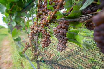 Grapes being grown on a vineyard