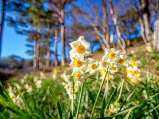 【静岡県伊豆市】公園に咲く水仙の花【修善寺虹の郷】