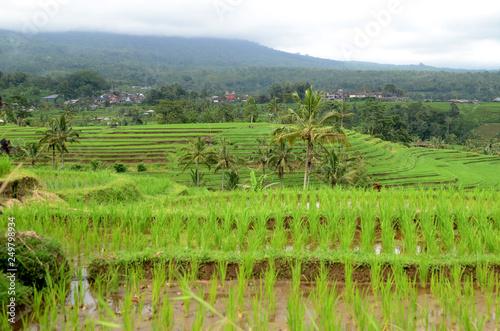 Beautiful Jatiluwih Rice Terraces In Bali Stock Photo And Royalty