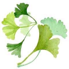 Ginkgo biloba green leaves. Watercolor background illustration set. Isolated ginkgo illustration element.