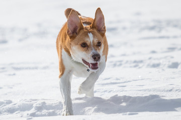 australian cattle dog playing fetch with a frisbee in the snow