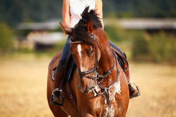 Horse with rider in close-up. Head portraits from the front, foamy, sweaty with front harness..