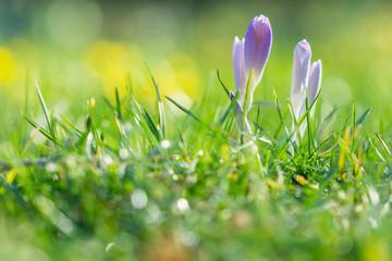 Blühender Krokus auf grüner Wiese im Frühling. Geschlossene Krokusse im Frühling.