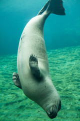 Underwater image of a Harbor Seal. The harbor or harbour seal, Phoca vitulina, also known as the common seal
