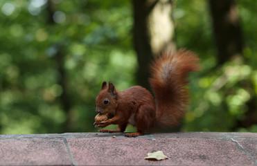 Deurstickers Eekhoorn Red Squirrel
