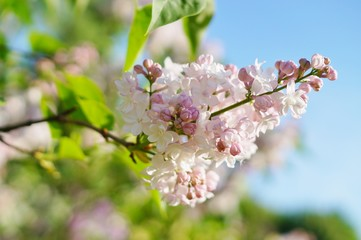 Syringa vulgaris - blooming lilac flower