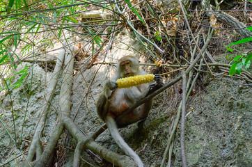 una scimmia sul ramo mangia la pannocchia