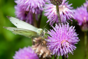 Cabbage White butterfly or White Cabbage on a burdock flower
