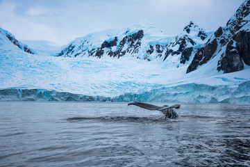 humpback whale in water in antarctica