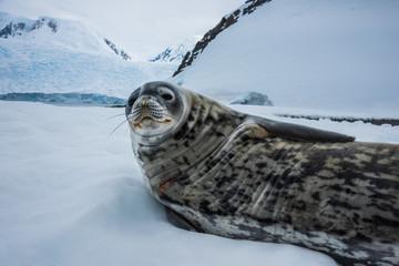 Weddell seal in Antarctica