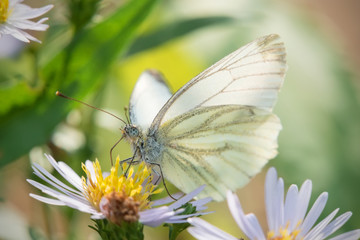 Cabbage White butterfly or White Cabbage on a garden flower