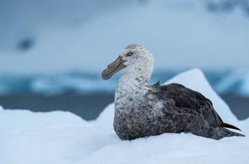 southern giant petrel in antarctica