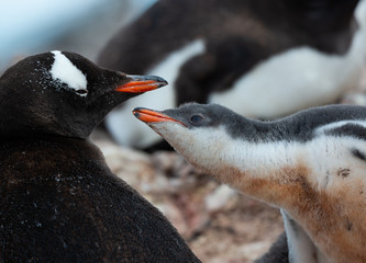gentoo penguin and the chick in antarctica