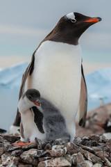 Gentoo penguin with the chick  in antarctica