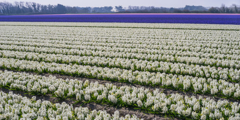 Landwirtschaft Feld mit weißen blauen und rosa Hyazinthen Panorama - Agriculture field with white blue and pink hyacinths panorama