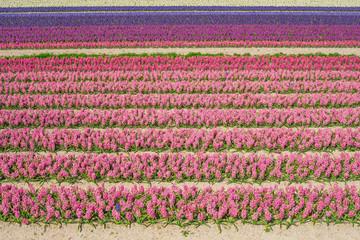 Landwirtschaft Feld mit vielen bunten Hyazinthen - Agriculture field with many colorful hyacinths