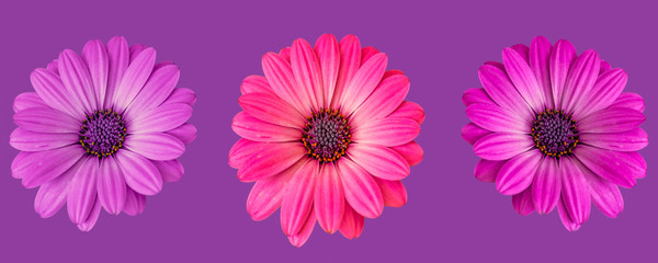 Fine art still life flower macro image of a set of three isolated wide open blooming pink violet red african/cape daisy/marguerite blossoms on violet background in pop art colors