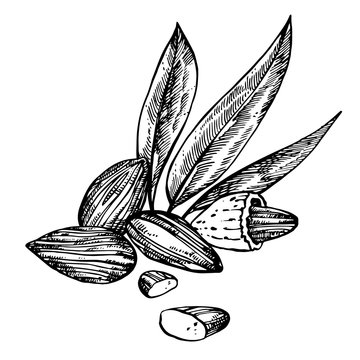 Almonds sketch illustrations. Hand drawn illustrations isolated on white background.