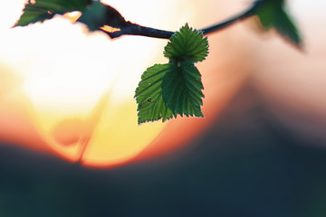 spring fresh leaves on a tree sunset