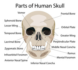 Parts of human skull, medical vector illustration