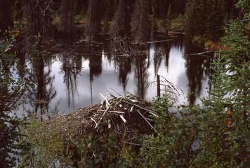 North American Beaver home in Yukon Territory Alaska (Castor Canadensis)