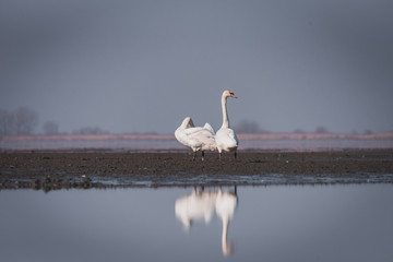 Large white swans play and swim in the lake