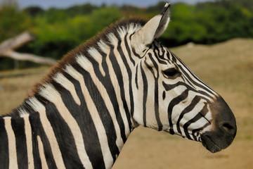 Portrait of African striped coat zebra