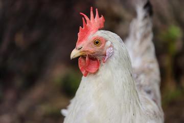 Portrait of white-greiy hen on the farm