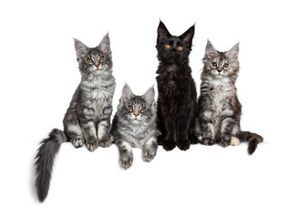 Four cute Maine Coon cat kittens sitting / laying in a perfect row. All looking at camera, isolated on a white background.