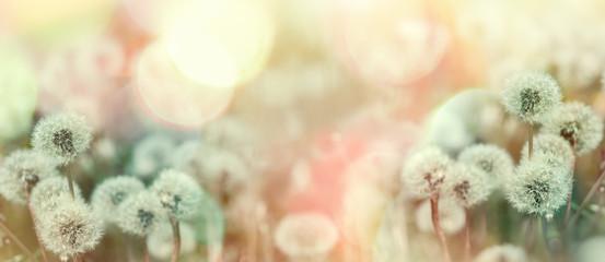 Selective and soft focus on dandelion seeds, dandelion lit by sunlight