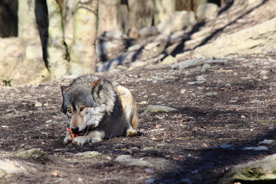 grey wolf eating meat in the forest