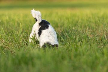 Jack Russell Terrier dog is digging in the meadow
