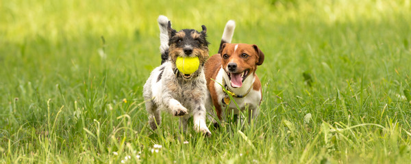 Two small Jack Russell Terrier dogs are running and playing togehter in the meadow with a ball
