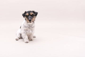 Jack Russell Terrier dog is sitting and isolated on white. 3 years old.